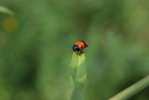 Ants-blind Beetles, Insect, Plant, Flower, Meadow