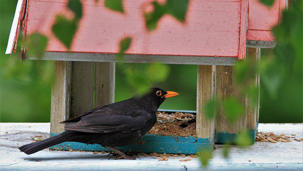 Blackbird, Male, Males, Bird, Songbird, Bill, Animal