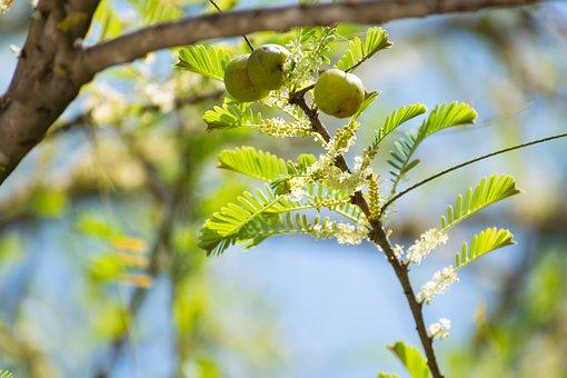 Indian Gooseberry, Ambla, Fruit, Emblic, Amla, Fresh