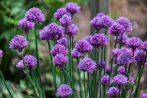 Chives, Purple, Herbs, Garden, Plant, Chive Flowers