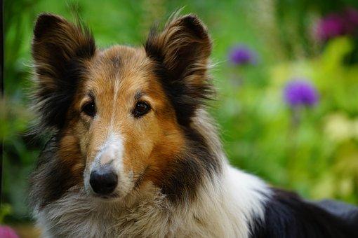 Dog, Garden, Scottish, Spring, Collie, The Brit Hostel