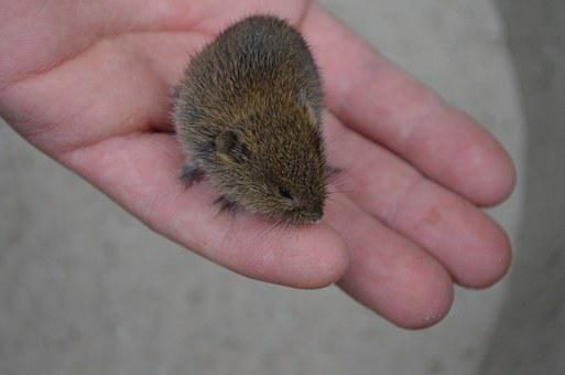 Mouse, Field Mouse, Animal, Cute, Trustful, Hand