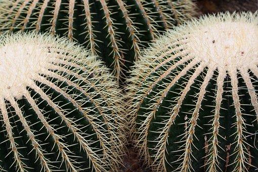 Cactus, Cactaceae, Echinocactus Grusonii, Globose