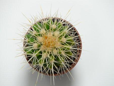 Golden Ball Cactus, Cactus, Cactus Greenhouse