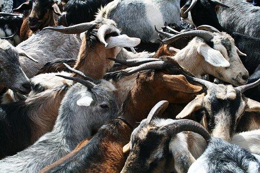 Goats, Horns, Goat's Head, Bock, Croud, Quantitative