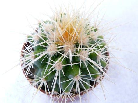 Golden Ball Cactus, Cactus, Echinocactus Grusonii