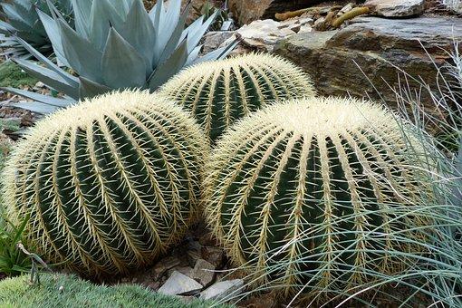 Nature, Sting, Cactus, Cactaceae, Echinocactus Grusonii