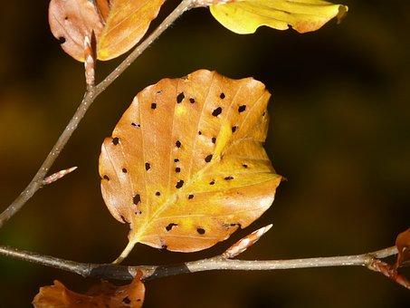 Leaves, Fall Foliage, Disease, Winter Moth, Beech Leaf