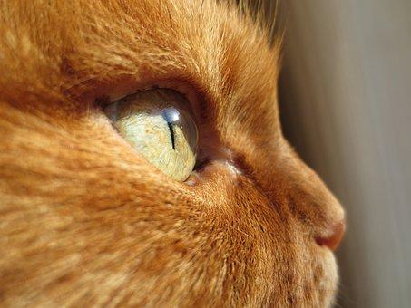 Cat, Eye, Ginger, Animal, Domestic, Feline, Kitty, Fur