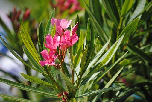 Flower, Pink, Nature, Floral, Plant, Spring, Blossom