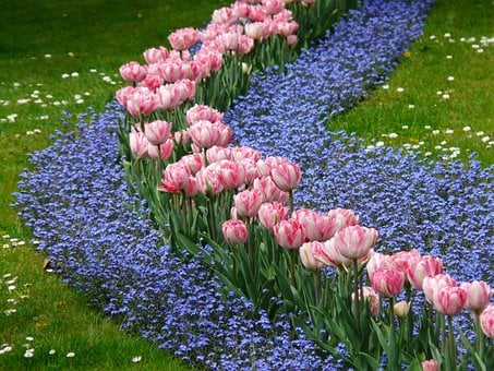 Tulips, Bed, Pink, Forget Me Not, Forget My Not