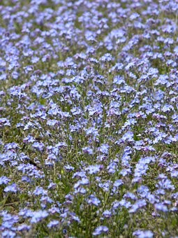 Forget Me Not, Forget My Not, Forget Mein Not, Myosotis