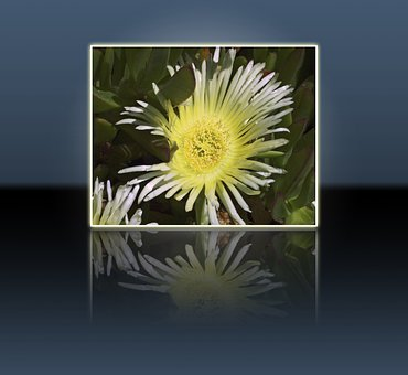 Yellow, Flower, Nature, Plant, Frame, Reflection