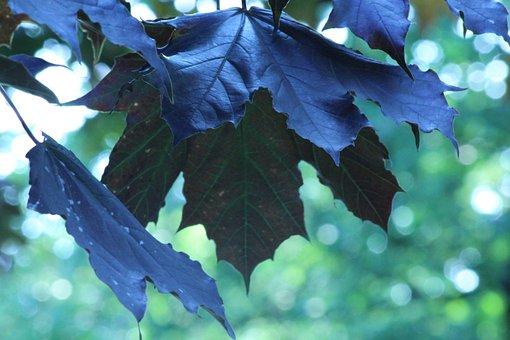 Maple, Leaves, Good Morning, Maple Leaf