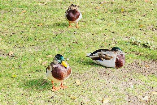 Ducks, Male, Drake, Color, Animal World, Trustful