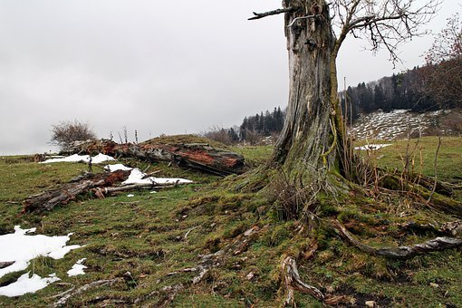 Nature, Tree, Morsch, Log, Root, Injury, Old, Break Up