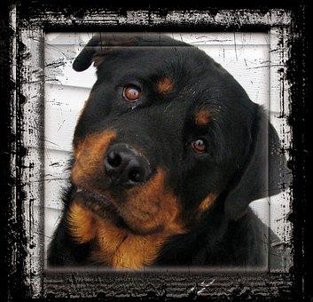 Rottweiler, Dog, Animal, Canine, Pet, Frame