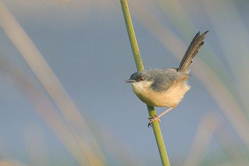 Bird, Ashy, Prinia, Wild, Mysore, India, Perched, Good
