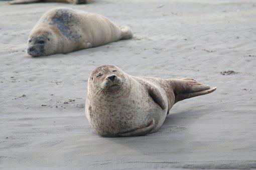 Seal, Animal, Sea, Beach, Mammals, Wild, Crawl, Swim