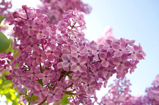 Lilac, Flowers, Bloom, Nature, Plant