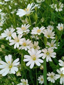 Stellaria Holostea, Plant, Muursoort, Ground Cover