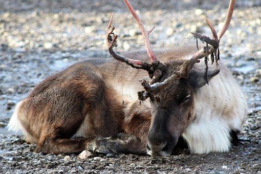 Reindeer, Deer, Christmas, Wildlife, Winter
