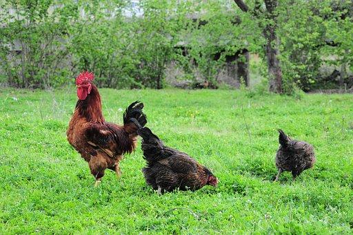 Cock, Chicken, Cock Picture, Cock Photo, Cock Photos