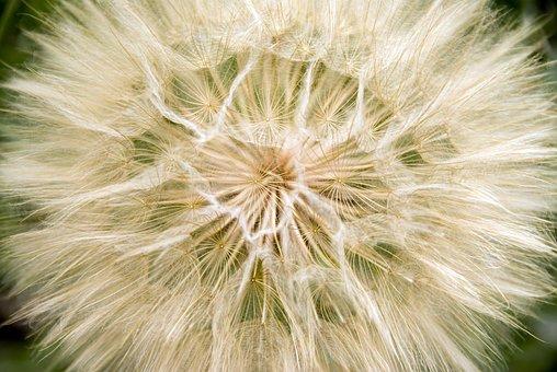 Common Dandelion, Wild Plant, Plants, Field