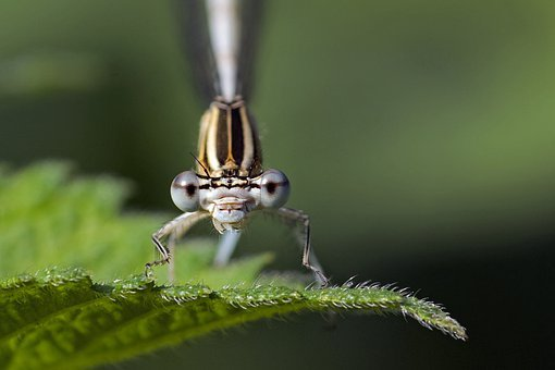 Dragonfly, Zygoptera, Insect, Macro, Close, Animals