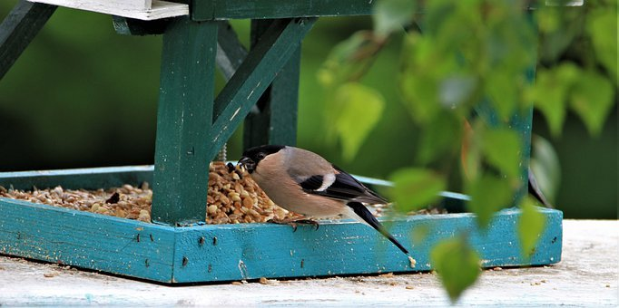 Bullfinch, Gimpel, Brown, Female, Bird, Songbird, Tree