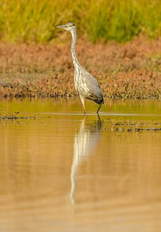 Heron, Water, Bird, Fishing, Lurking, Standing, Beak