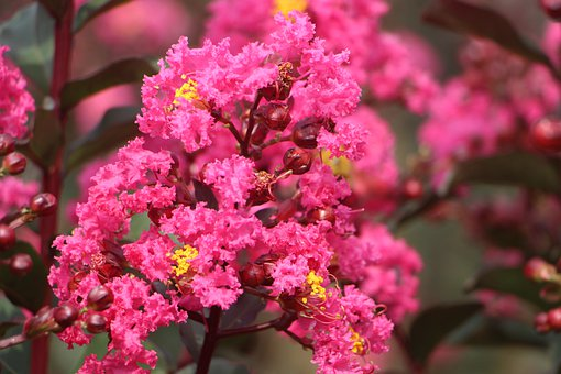 Crape Myrtle Flower, Velvet Crape Myrtle, Bucolic