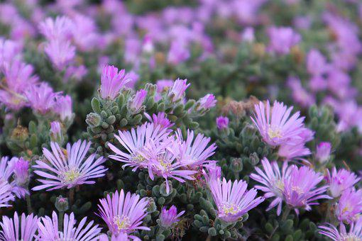 Lilac, Flower, Flowers, Spring, Purple
