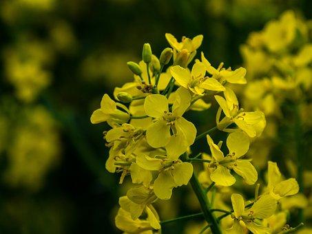 Flower, Rape, Plant, Flowers, Yellow, Matte, Color