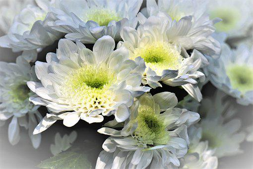 Margaritki, Memory, Flowers, The Petals, Camomile