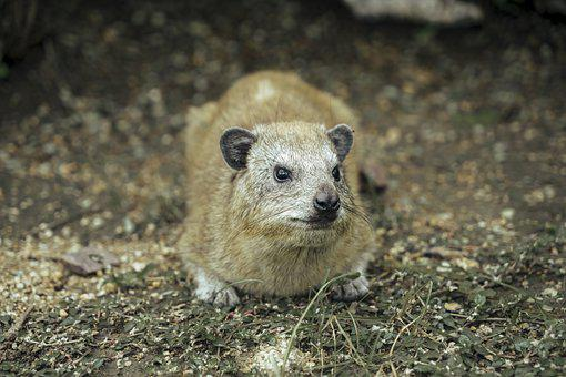 Daman, Mammal, Rodent, Animal, Africa, Tanzania