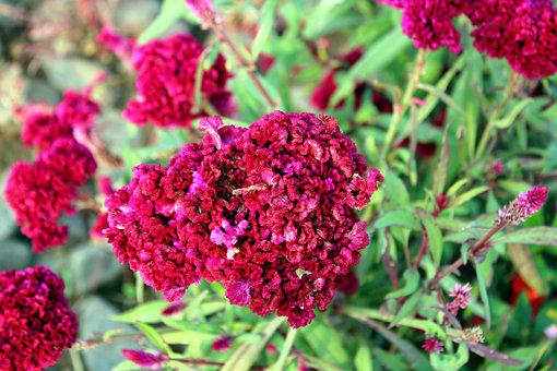 Pink Celosia Cristata Flower, Close Up, Botanical