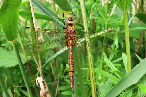 Dragonfly, Nature, Green-eyed Hawker, Spring