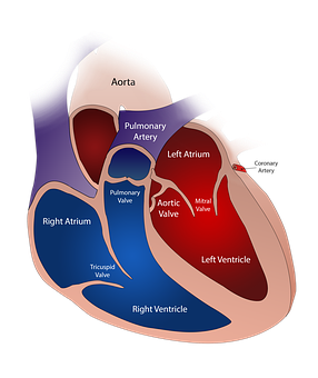 Heart, Valve, Circulatory, Human, Medical, Blood