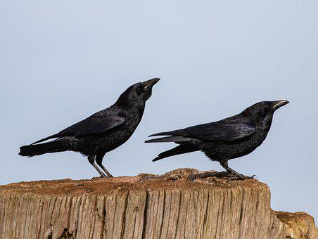 Crow, Crow On Stump, Black, Bird, Nature, Livestock