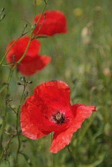 Flower Meadow, Poppy, Meadow, Nature, Blossom, Bloom