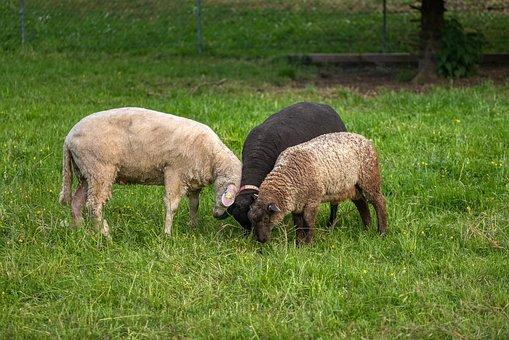 Sheep, Three, Trio, Confidential, Poke
