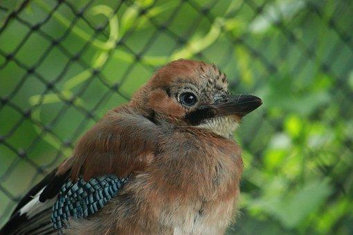 Jay, Eurasian Jay, Garrulus Glandarius, Corvidé, Bird