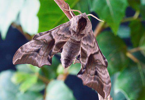 Eyed Hawk-moth, Wings, Pattern, Insect, Nature