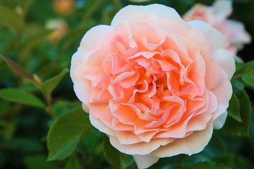 Rose, Spring, Nature, Orange, Plant, Romantic, Love