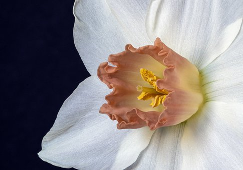 Narcissus, Flower, Daffodil, Spring, Bloom, Blossom