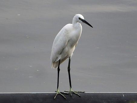 Small, Egret, Perch, Wild, Bird, Wildlife, Outdoor
