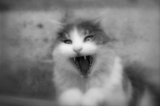 Cat, Anger, Feline, Portrait, Fear, Fur, Funny, Mammals