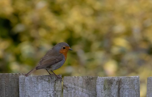 Robin Redbreast Perched On Fence, Robin