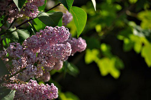 Lilac, Syringa, Ordinary Lilac, Purple, Bush